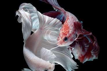 Lifespan of freshwater aquarium fishes
